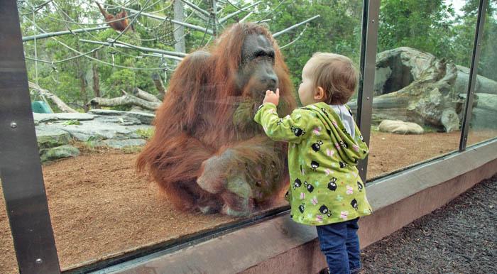 Игра как образ жизни, ребенок и орангутанг